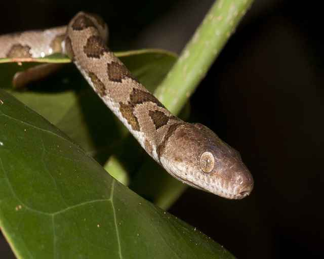 serpent de lîle de Queimada grande